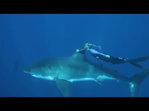 WOMAN SWIMS WITH GREAT WHITE SHARK WITHOUT CAGE PROTECTION