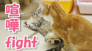 Cute cats have a serious fight . Sushi ( the silver tabby cat ) is ...