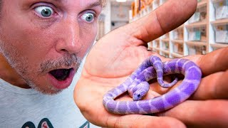 PURPLE SNAKES ARE REAL!! WE JUST HATCHED SOME!! | BRIAN BARCZYK