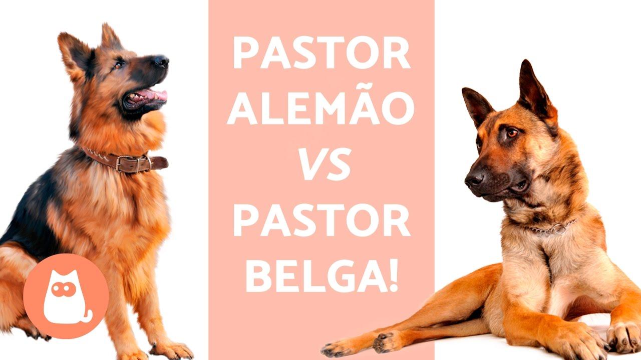 pastor alemão belga vs pasto alemão