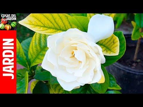TOP 10 Preguntas sobre gardenias y Jazmines. Hojas amarillas!! soluciones!!