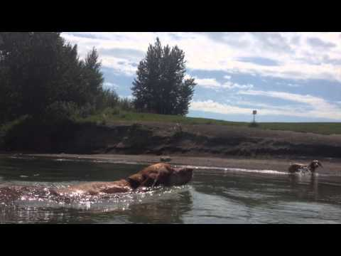 Water Dogs - Swimming in the North Saskatchewan River