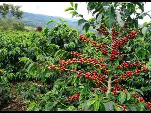 Coffea coffea arabica coffee plant youtube for Coffea arabica