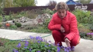 Неприхотливые растения для сада  Герань Розанна