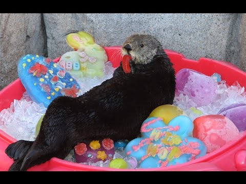 It's an Eggstravaganza for our Sea Otters!