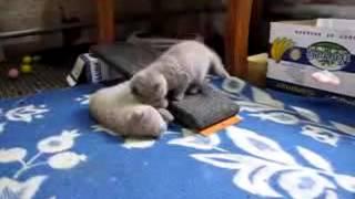 Подборка приколов. Шотландские вислоухие котята.