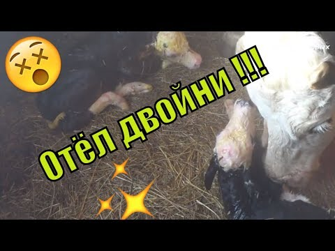 Отёл двойни. Корова родила двойню//The cow gave birth to twins// Семья Фетистовых
