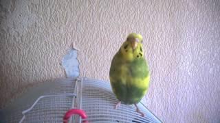 Попугай ловит клювом воздух
