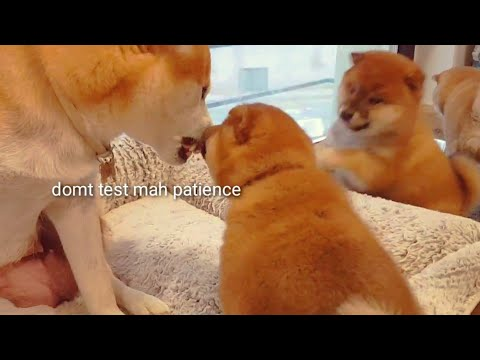 Domt heccin test mom! Shiba Inu puppies (with captions)