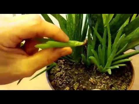 Aloe Vera  evde nasıl çoğaltılır (SarıSabır ) Mucize Bitki  / how to grow Aloe Vera at home
