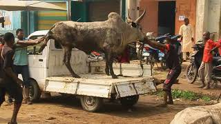ANIMALS MARKET FOR SALLAH FEAST IN KANO