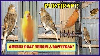 TERAPI MANTAP!! KENARI MACET & BAHAN!! KOMBINASI NGECALL BETINA, NGEROLL & KENARI RIBUT!!