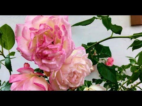 Как выращивать розы методом пермакультуры