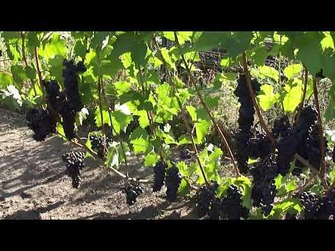 Винный сорт винограда Ливадийский Чёрный.