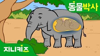 코끼리 왕배꼽   코끼리에게도 배꼽이?   동물박사★지니키즈