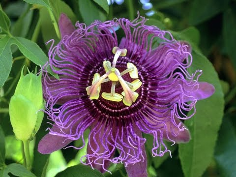 Passion Flower - Reviews, Facts & Warnings