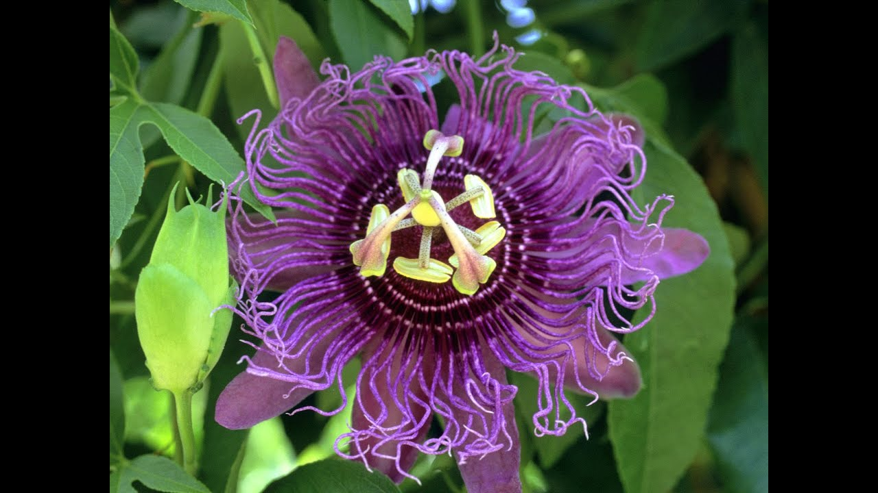 Passion Flower Reviews Facts Warnings Youtube