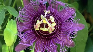 Passion Flower - Reviews, Facts & Warnings - by Dr Sam Robbins