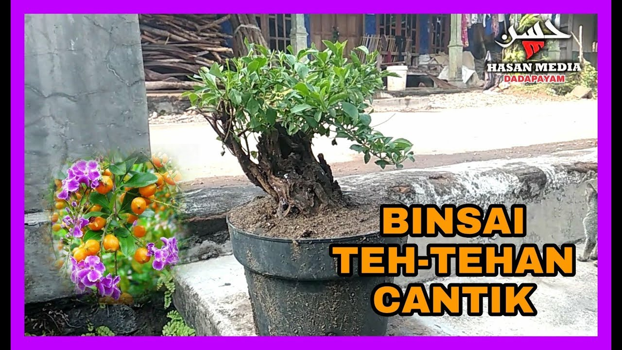 Bonsai Teh Tehan Cantik Duranta Sinyo Nakal Youtube