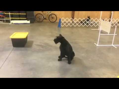 Giant Schnauzer Female 'Kaya' 14 Mo's Obedience & Agility Practice Dog For Sale