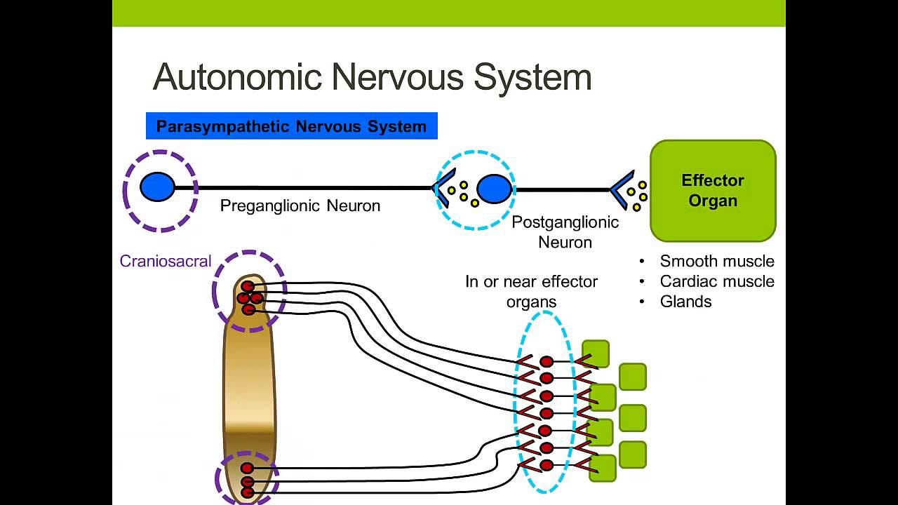 The Autonomic Nervous System - YouTube