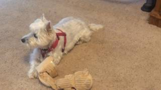 West Highland Terrier (Westie) Being a West Highland Terrier. Funny!