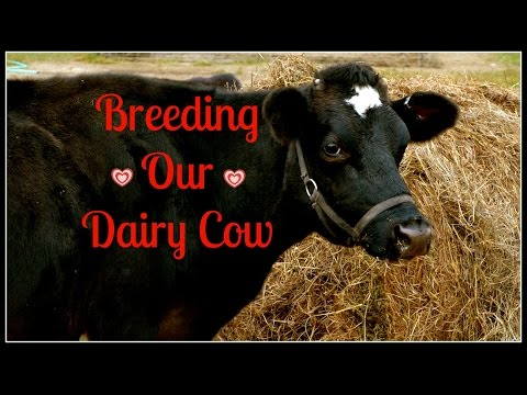 Breeding Our Dairy Cow~