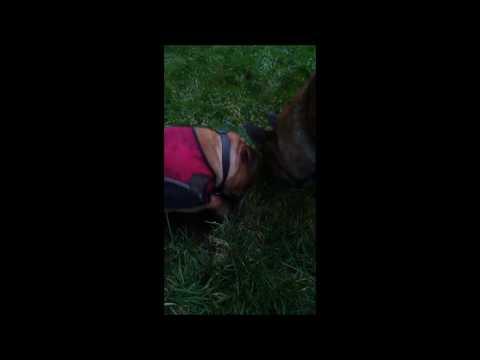Staffordshire Bull Terrier ratting cerberusk9uk