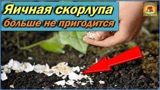 Яичная скорлупа БОЛЬШЕ НЕ ПРИГОДИТСЯ на огороде С легкостью ее ВЫБРАСЫВАЙТЕ Дачные советы