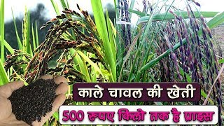 Black Rice Farming in india in hindi 2017 || modern rice cultivation in india 2017