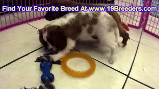 Cavalier King Charles Spaniel, Puppies, For, Sale, In, Olathe, Kansas, County, Ks, Fairfield, Litchf