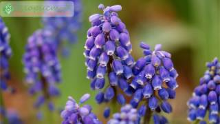 Цветы мускари – описание, разновидности и сорта мускари