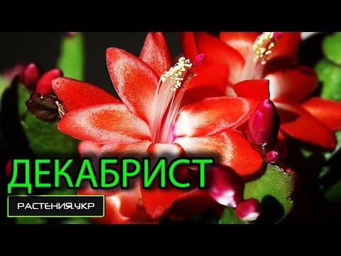 Цветок декабрист / рипсалидопсис / шлюмбергера