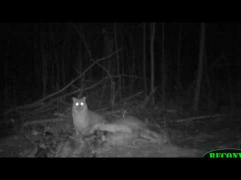 Bobcat Compilation Red Cliff Wildlife Feb 2017