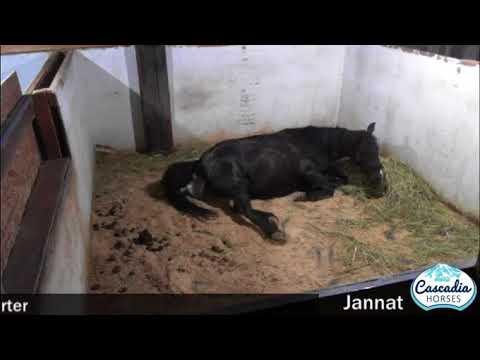 Black Caspian horse Jannat foals a sorrel colt