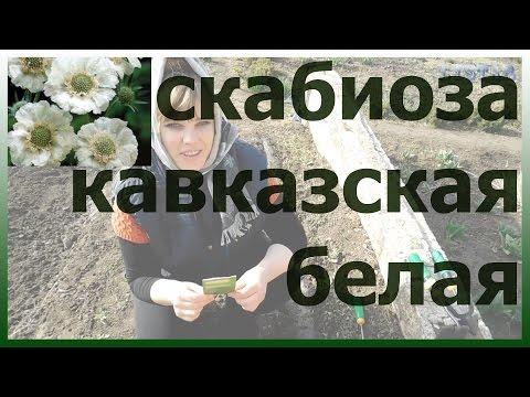 Скабиоза кавказская посадка уход выращивание Как посадить сажать скабиозу Сеем скабиозу