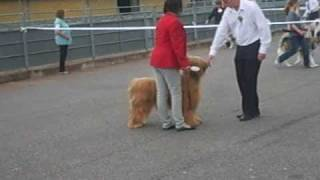 Exeter 1 Briard Dog Show