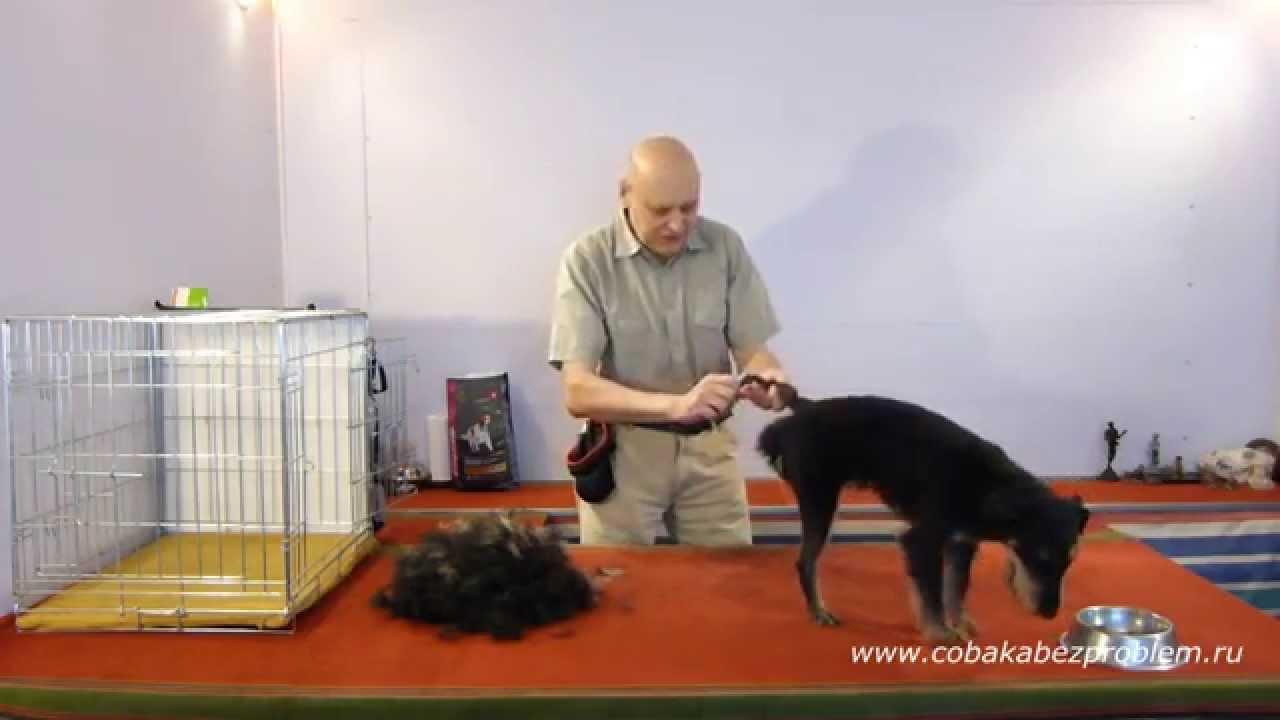 4 Как приучить собаку к триммингу шерсти. Лапы, хвост, живот