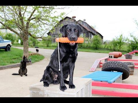 Labrador Retriever -Teaching a Calm, Steady Hold