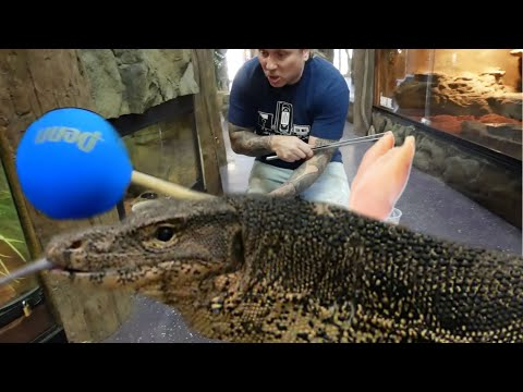 TRAINING A GIANT LIZARD!! CAN IT BE DONE?? | BRIAN BARCZYK