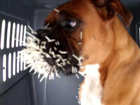 Boxer dog VS Porcupine