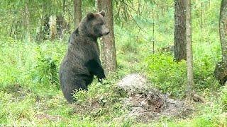 В Эстонии набирает обороты «медвежий туризм» (новости)(http://ntdtv.ru/ В Эстонии набирает обороты «медвежий туризм». Эстонцы зовут посмотреть на их диких медведей. Тако..., 2014-09-23T11:32:16.000Z)