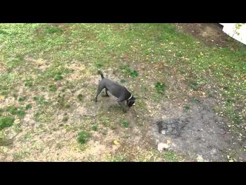Cane Corso Trainer Tips Basic Commands Youtube