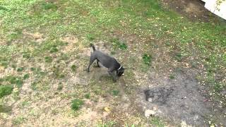 Cane Corso Trainer Tips - Basic Commands