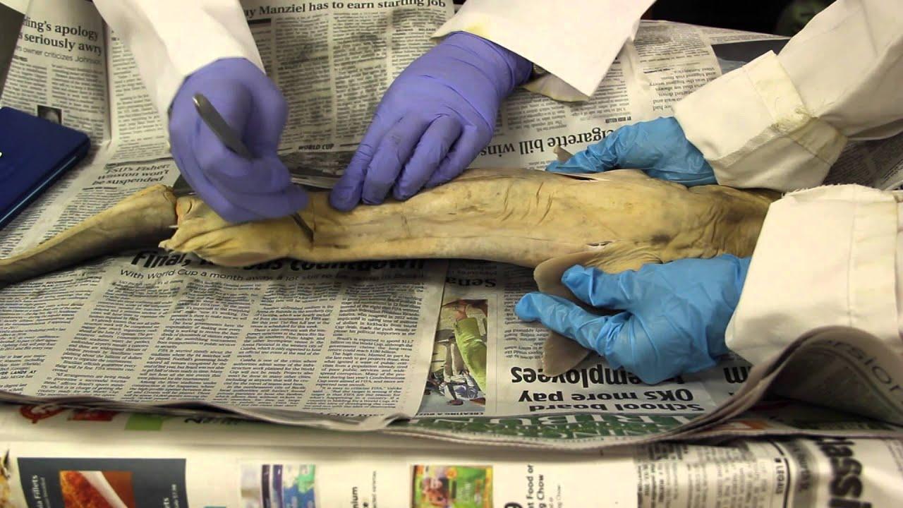 Portfolio  |Spiny Dogfish Shark Dissection