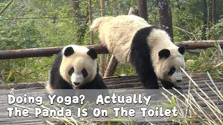Doing Yoga? Actually The Panda Is On The Toilet | iPanda