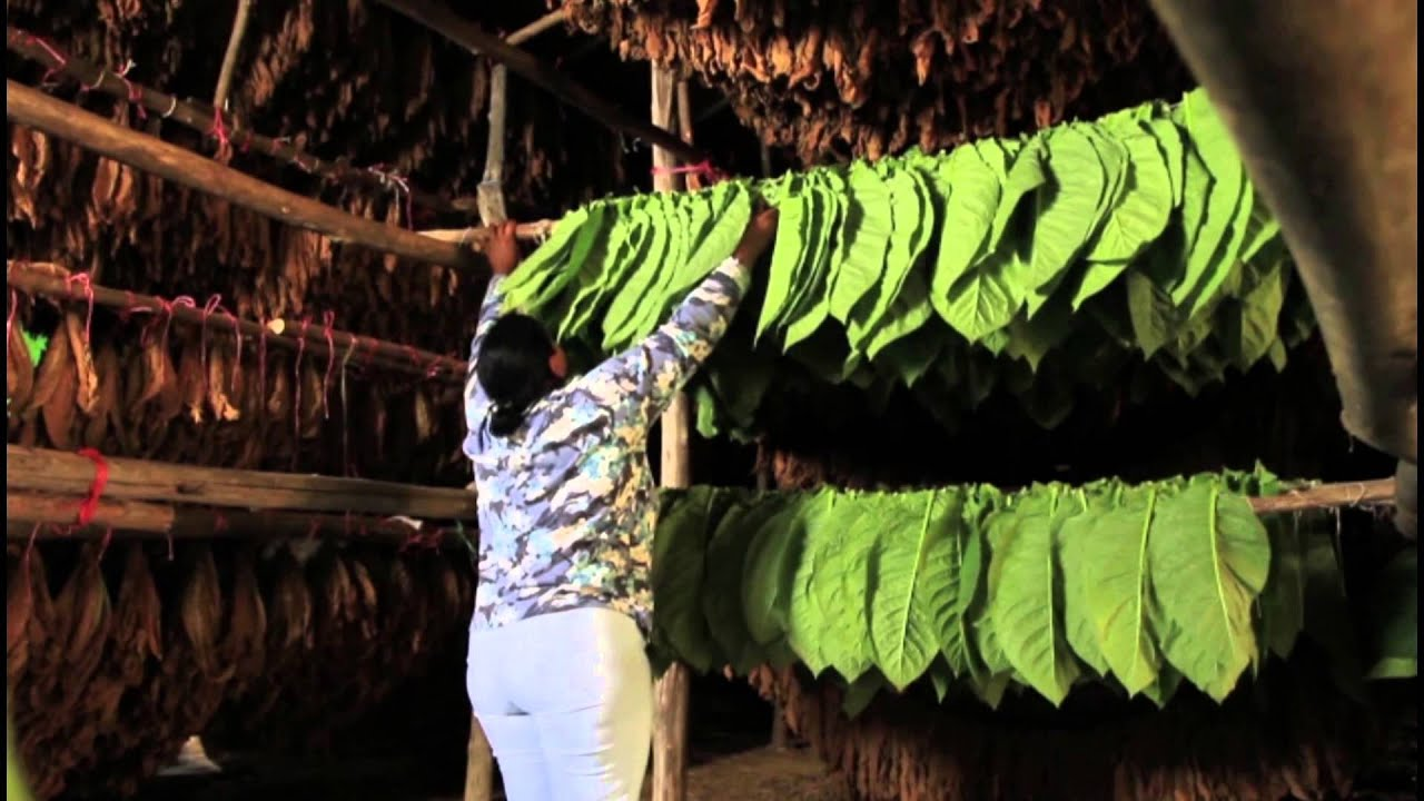 tobacco history Tobacco, one of the most important cash crops in american farming, is native to the north and south american continents it first became known to the rest of the.