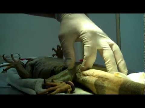 iguana prolapsed cloaca
