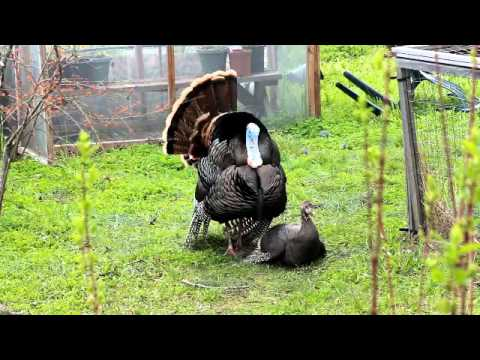 Wild turkey mating and a Jealous Hen