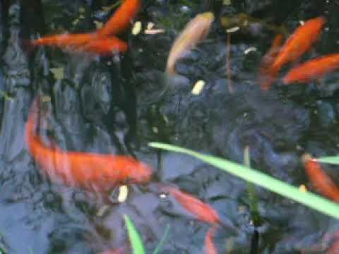 Gold fish breeding pond youtube for Breeding pond fish
